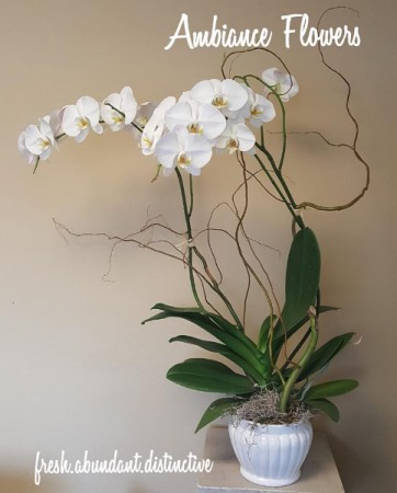 White Phalaednopsis Orchid