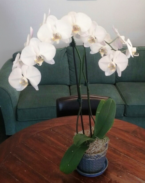 White Phalaenopsis 2 Stem Orchid in Bluffton, SC | BERKELEY FLOWERS & GIFTS