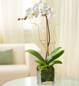 Elegant Orchid EF41 in Brooklyn, NY | ELEGANT FLORIST