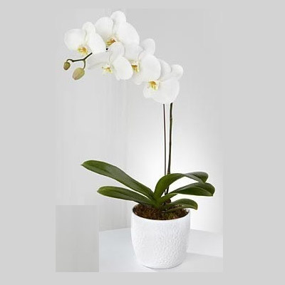 White Phalaenopsis Orchid Sorry we've sold out