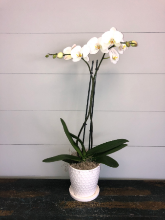 White Phalaenopsis Orchid  Pots May Vary