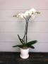 White Phalaenopsis Orchid  Pots May Vary