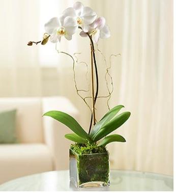 White Phalaenopsis Orchid 99200