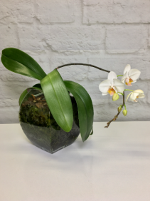 White Phalaenopsis Orchid in Modern Glass