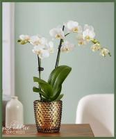 White Phalaenopsis Orchid Item #99200
