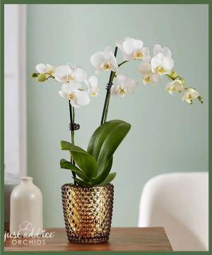 Phalaenopsis Orchid  in Arlington, TX   Erinn's Creations Florist
