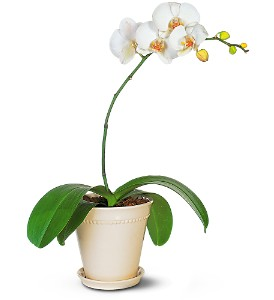 White Phalaenopsis Orchid Plant in Glastonbury, CT | THE FLOWER DISTRICT