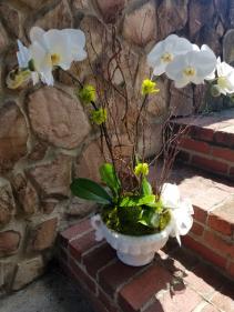White Phalaenopsis Orchid plant in designer contai Plant