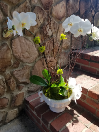 White Phalaenopsis Orchid plant in designer contai Plant