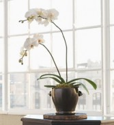 ORCHID FLOWERS  ROMA FLORIST WHITE PHALANOPSIS ORCHID