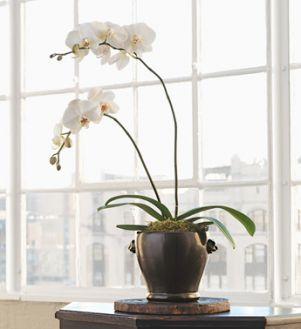 ROMA FLORIST WHITE PHALANOPSIS ORCHID