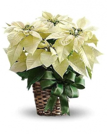 White Poinsetta Arrangement