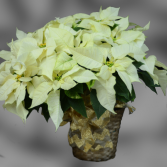 White Poinsettia - 10""