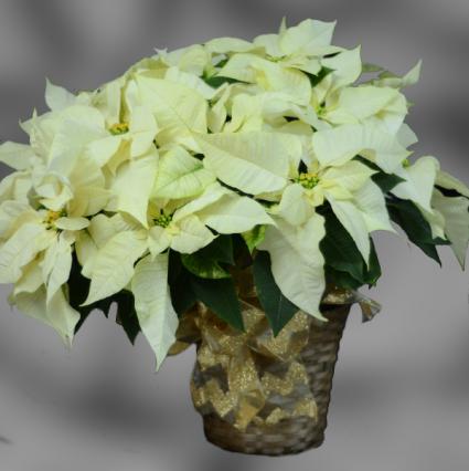 White Poinsettia - 10