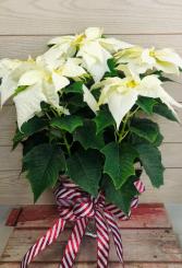 """White Poinsettia 8"""" Pot with Bow"""