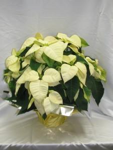 White Poinsettia Blooming Plant