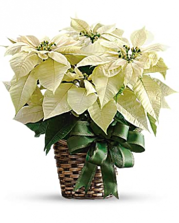 White Poinsettia Bouquet
