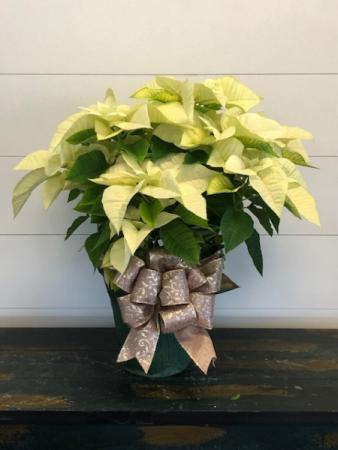 White Poinsettia Christmas Plant