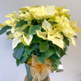White Poinsettia Holiday Plant