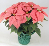 Marble Poinsettia  White, Red and Pink Also Available