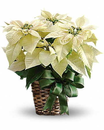White Poinsettia Plant