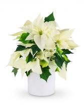 White Poinsettia Plant Plant