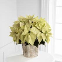 White Poinsettia Potted