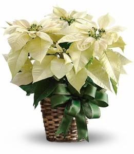 White Poinsettia H1222A