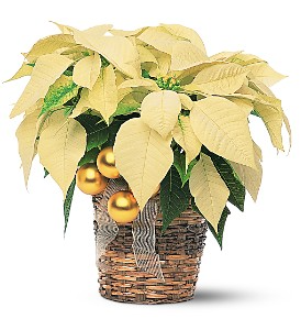 White Pointsetta Plant with Gold Trim Plant