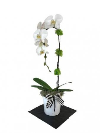 White Single Cascading Orchid Orchid