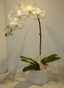 WHITE WATERFALL PHALAENOPSIS ORCHID Blooming Plant