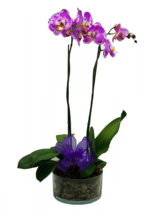 Wild Beauty Orchid