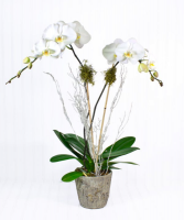WINTER PHALAENOPSIS ORCHID PLANT