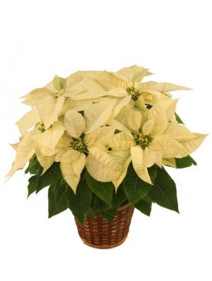 Winter White Poinsettia Blooming Plant in Sedalia, MO | State Fair Floral