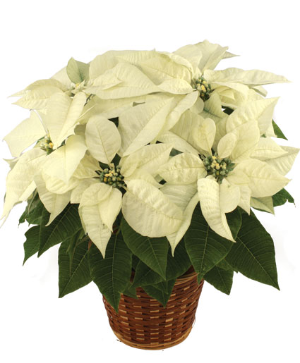Winter White Poinsettia Blooming Plant in Mcallen TX Marylus