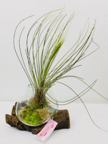 Wispy Air Plant
