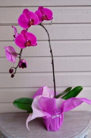 Wrapped Orchid  in Surrey, BC | Hunters Garden Centre And Flower Shop