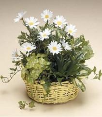 DISH GARDEN WITH FRESH CUTS Green Plant Basket