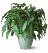 Xanadu Philodendron Plant