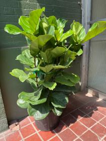 """XL 14"""" """"Fiddle Leaf"""" Ficus Lyrata  Bush"""