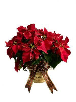 CHRISTMAS POINSETTIA PLANT XL Christmas Plant in Miami, FL | FLOWERTOPIA