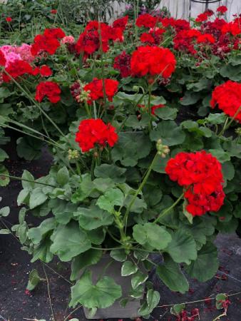 XL Geranium mixed pot- Assorted Colors Greenhouse