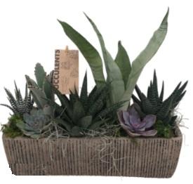 XL Succulent Succulent
