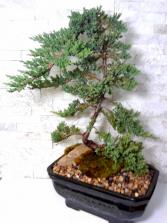 XL Upright Juniper Bonsai