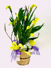Yellow Calla Lily Blooming Plant
