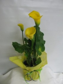 Yellow Calla Plant blooming plant