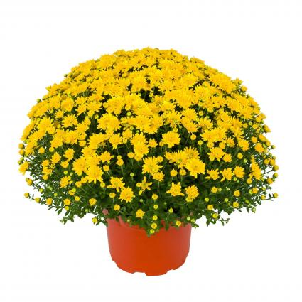 YELLOW CHRYSANTHEMUM 12in. Blooming Plant