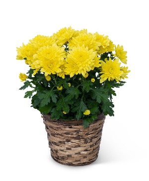 Yellow Chrysanthemum Plant Plant in Nevada, IA | Flower Bed
