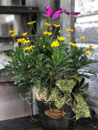 Yellow Daisy Bush Plant