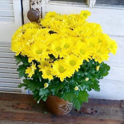 Yellow Daisy Chrysanthemum Plant